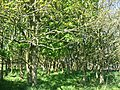 Woodland on the Gorsedd Wygyr drumlin - geograph.org.uk - 1312257.jpg