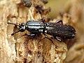 Wrinkled Bark Beetle (29191625390).jpg