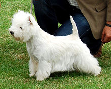 A white terrier photographed from the side, it has longer hair than normal which reaches down nearly as far as it's feet, the hair on its head is puffed up.