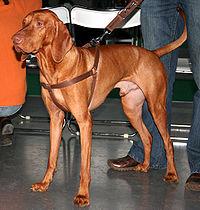 Breed Of Gun Dog Crossword Clue