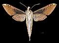 Xylophanes sarae MHNT CUT 2010 0 226 La Escalera Venezuela male ventral.jpg