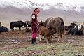 Yak Tajikistan.jpg