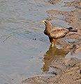 Yellow-billed Kite (Milvus parasitus) (31943560420).jpg