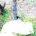 Yellow-billed blue magpie-5 Kandbari, Himachal Pradesh by Avyakta.jpg
