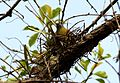 Yellow-footed Green Pigeon Treron phoenicoptera nest by Dr. Raju Kasambe (2).jpg