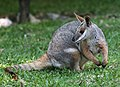 Yellow-footed Rock Wallaby.JPG