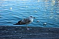 Yellow-legged Gull in Barcelona 7.jpg