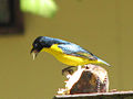 Yellow-throated Euphonia-male.jpg