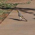 Yellow-throated miner Herbert St Boulia Queensland P1030328.jpg
