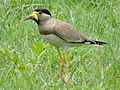 Yellow-wattled lapwing, Kalka, Haryana, India.JPG