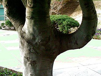 Cladrastis kentukea - bark and low branching habit