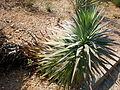 Yucca desmetiana 1c.JPG