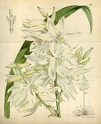 Yucca flaccida (as Yucca orchioides var. major) Bot. Mag. 103. tab. 6316. 1877