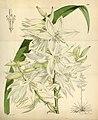 Yucca flaccida (as Yucca orchioides var. major) Bot. Mag. 103. tab. 6316. 1877.jpg