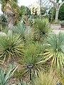 Yucca thompsoniana - Denver Botanic Gardens - DSC00885.JPG