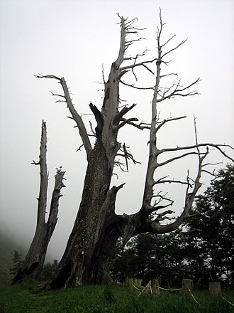 "Yushan (mountain) - ""Husband and Wife Trees"", or ""Fuci Trees"" (夫妻樹). These are two surviving Chamaecyparis formosensis trees from a 1963 forest fire"