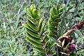 Zamioculcas zamiifolia 8zz.jpg