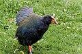 Zealandia Ecoreserve, Wellington (34811900151).jpg