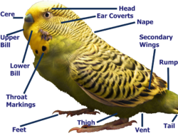 The anatomy of a male budgerigar