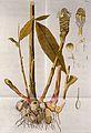 Zerumbet Ginger (Zingiber zerumbet (L.) Sm.); flowering stem Wellcome V0042951.jpg