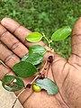 Ziziphus mauritiana, Indian jujube, Indian plum, മസം.jpg