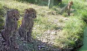 Breeding programs at Zoo Basel - Cheetahs