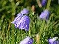 Zwerg-Glockenblume (Campanula cochleariifolia) 06.JPG