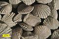 Zygospira modesta Waynesville collection.jpg
