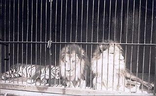Tiger versus lion Historical comparison of tiger and lion