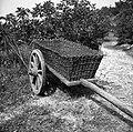 """""""Koš"""" (pleten iz bak in bradovik) za gnoj, zemljo, sirk (koruzo), vozita ga dva vola, Senik 1953 (2).jpg"""