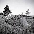 """""""Lojenca"""" - začasen kup sena, pripravljen za prevoz v dolino. Nanos, Lipe, pri kapelici na vrhu Vrat 1958.jpg"""