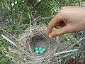 """robin eggs"" in Alamarvdasht تخم پرنده دُمبیل - panoramio.jpg"