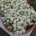'Giga White' alyssum IMG 5052.jpg