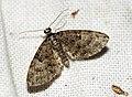 (1853) Oak-tree Pug (Eupithecia dodoneata) (5696668500).jpg