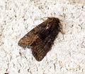 (2337) Marbled Minor (Oligia strigilis) - GEN DET (9093343111).jpg