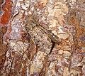(2353) Flounced Rustic (Luperina testacea) (36857546391).jpg