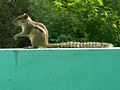 (Funambulus palmarum) Indian palm squirrel at Madhurawada 02.JPG