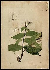 (Rubiaceae)