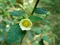 (Sida cordifolia) at Kambalakonda Wildlife Sanctuary 05.JPG