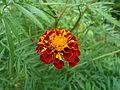 (Tagetes patula) hybrid marigold at Bhadrachalam 02.JPG