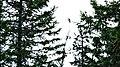 Алтайская птица.jpg