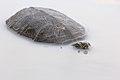Болотна черепаха.jpg