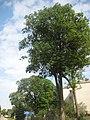 Дерево Міцкевича, Гримайлів.jpg