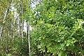 Дубово-березовая роща. Лес около Княгинихи. Савинский р-н. Ивановская обл. Август 2013 - panoramio.jpg