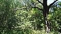 Дібрівський лісовий заказник. Дуб.jpg