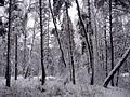 Зимний лес - panoramio (14).jpg