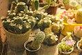 Кактуси у Запорізькому ботанічному саду.jpg