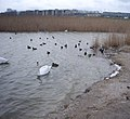 Лиман с лебедями - panoramio.jpg