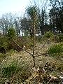 Маладая сасна - panoramio.jpg