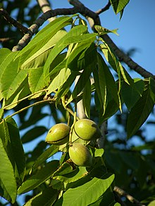 японский орех дерево